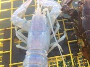美国渔民捕获罕见龙虾 透明小龙虾或疾病