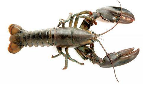 日本湖泊小龙虾泛滥 日本小龙虾泛滥 小龙虾有什么营养