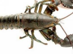 日本湖泊小龙虾泛滥 直接踩碎当肥料
