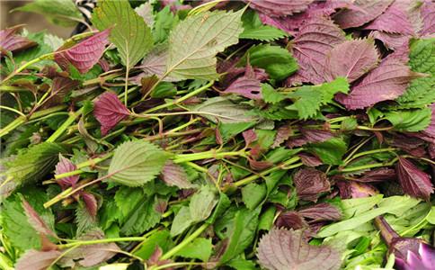 紫苏的功效与作用 紫苏叶食谱 紫苏叶怎么做
