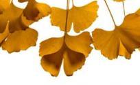 银杏叶的功效与作用 银杏叶是什么 银杏叶的功效
