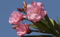 夹竹桃的功效与作用 夹竹桃是什么 夹竹桃的功效