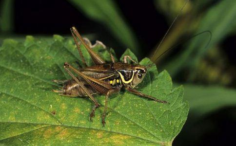 蟋蟀面包 面包含有70只蟋蟀 蟋蟀的营养是什么