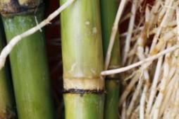 正是甘蔗上市时 哪些孕妈不宜吃甘蔗