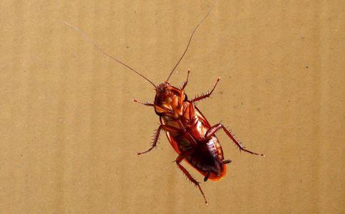业绩未达罚吃蟑螂 吃蟑螂的危害 吃蟑螂对身体有害吗