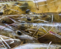 田园鲜虾粥的做法 田园鲜虾粥 孕期食谱