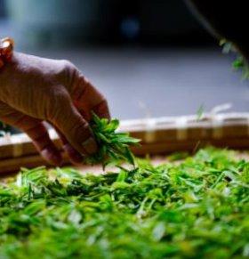 谷雨茶 什么是谷雨茶 谷雨茶的功效