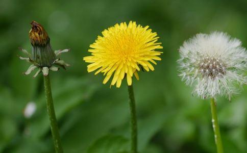 蒲公英有三种食用方法利尿、清热解毒。