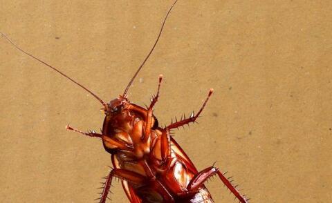 男子养殖可生吃蟑螂 养殖可生吃蟑螂 蟑螂的药用价值