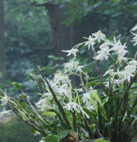 石斛花有什么保健功效 石斛花的作用 石斛花怎么吃