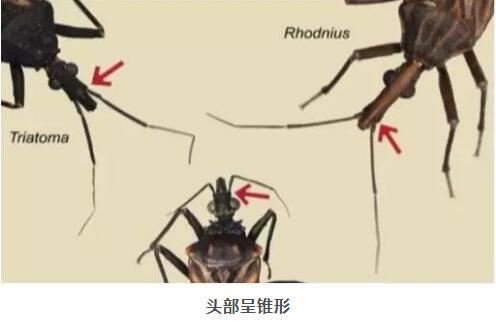 8元1只悬赏锥蝽 被锥蝽咬了怎么办 如何预防锥蝽