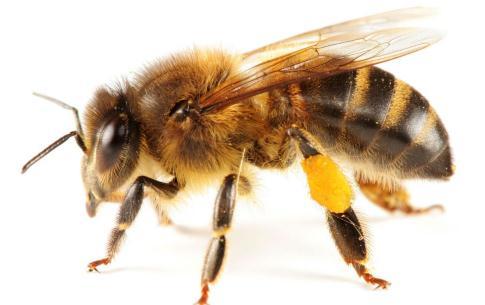 摘板栗遭马蜂袭击 如何预防被马蜂蜇伤
