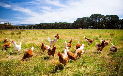 湖南凤凰发生H5N6禽流感疫情 如何预防禽流感 H5N6禽流感