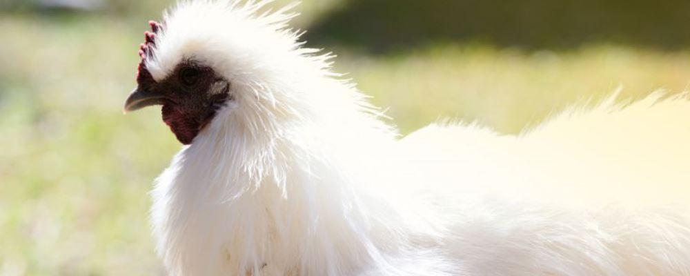 家禽和野生动物4点区别 家禽会传染疾病吗 哪些属于野生动物
