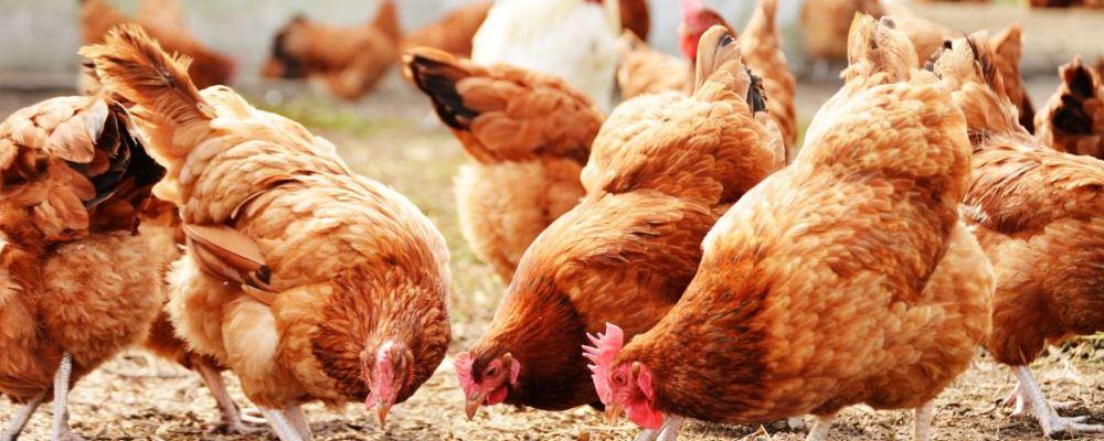 人会感染禽流感吗 人感染禽流感有哪些临床表现 如何预防感染禽流感