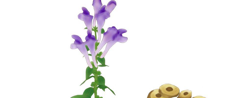 峨眉黄芩 峨眉黄芩的功效 峨眉黄芩的作用