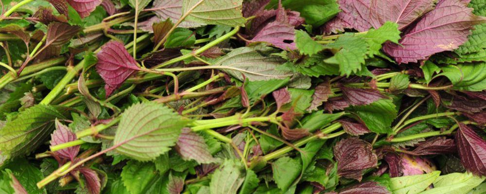 春季吃野菜有什么好处 春季吃什么野菜能治疗疾病 春季吃什么野菜好