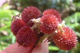 春砂花的功效与作用,春砂花的作用,春砂花的功效