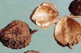 砂仁壳的功效与作用,砂仁壳的作用,砂仁壳的功效