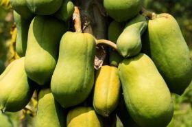 番木瓜的功效与作用,番木瓜是什么,番木瓜的功效
