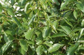 樟木的功效与作用,樟木是什么,樟木的功效