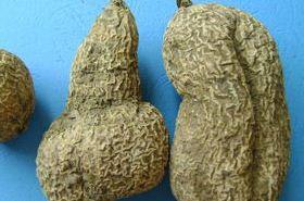 金果榄的功效与作用,金果榄是什么,金果榄的功效