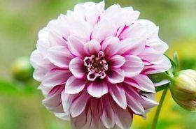 大理菊的功效与作用,大理菊是什么,大理菊的功效