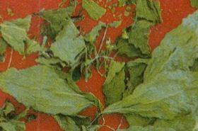 铁苋菜的功效与作用,铁苋菜是什么,铁苋菜的功效