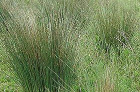 龙须草的功效与作用,龙须草是什么,龙须草的功效