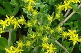 垂盆草的功效与作用,垂盆草是什么,垂盆草的功效