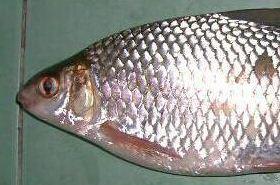 鲮鱼的功效与作用,鲮鱼是什么,鲮鱼的功效
