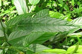 葫芦茶的功效与作用,葫芦茶是什么,葫芦茶的功效