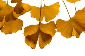 银杏叶的功效与作用,银杏叶是什么,银杏叶的功效
