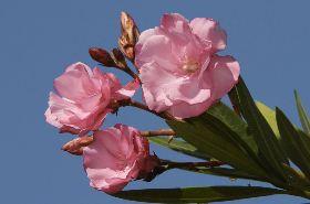 夹竹桃的功效与作用,夹竹桃是什么,夹竹桃的功效